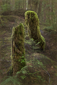 Twin decaying stumps, Olympic National Forest near Forks, WA