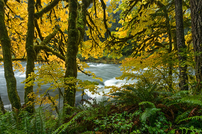 Big leaf Maples along the Sol Duc River, Olympic National Forest near Forks, Washington