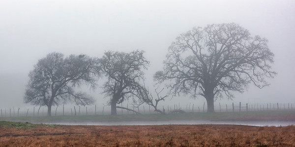 Pecan trees in fog, Falls County, Texas
