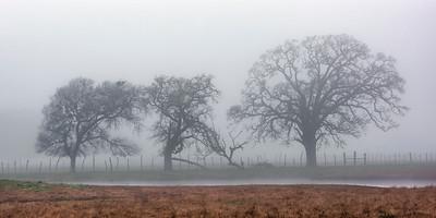 Pecan trees in fog, Falls County, Texas