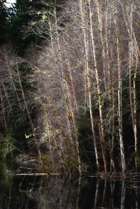 Alders, Woodland Pond, Hoh Valley, Olympic National Park, Washington