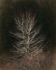 """No Name Tree"", Bogachiel Valley, Olympic National Forest, Washington"