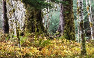 Spruce and Alder, Olympioc National Park near Solduc Hot Springs