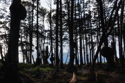 Coastal spruce burl forest, Kalaloch, Washington (Olympic National Park)