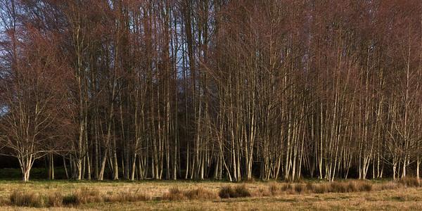 Winter Alders, Sequim Valley, Washington