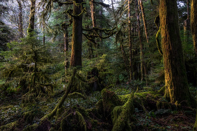 Morning Light in the Forest, Olympic National Park, Washington