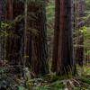 Mature second grow Douglas Fir and Western Red Cedar, Joyce Valley, Washington