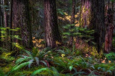 Old Growth Douglas Fir, Solduc Valley, Olympic National Park, Washington