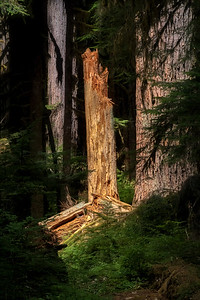 Snag (dead tree) along the Lover's Lane Trail, Solduc Valley, Olympic National Park