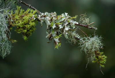 Lichen and moss on alder limb