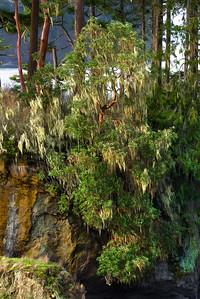 Madrona Tree, Salt Creek Park, Washington