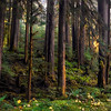 Old Growth Forest, Olympic National Park, Washington