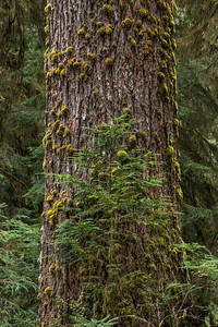 Old Growth Douglas Fir Tree with Hemlock sapling, Hoh Rain Forest, Olympic National Park