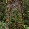 Old Growth Douglas Fir Tree with Hemlock sapling, Hoh Rain Forest, Olympic National Park