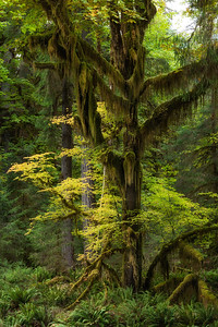 Big leaf maple and Vine Maple, Hoh Rain forest, Olympic National Park