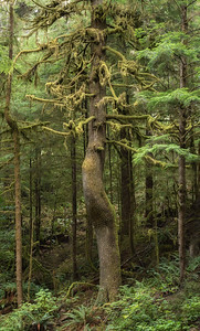 Crooked Hemlock, Olympic National Forest near Forks, WA