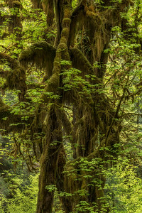 Hall of Mosses, Hoh Rain Forest, Olympic National Park, WA