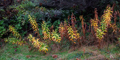 Spent Fire Weed stems