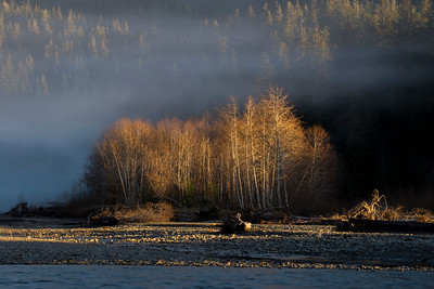 Alders Trees in Evening Light, Hoh River, Olympic National Park, Washington