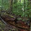 Nurse Log, Olympic National Forest near Forks, WA