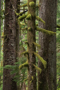 Spruce and Hemlock Trees, Olympic National Forest near Forks, WA