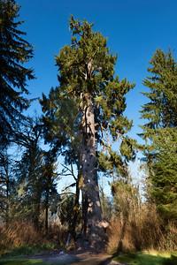 World record Sitka Spruce, Quinault Valley, Washington