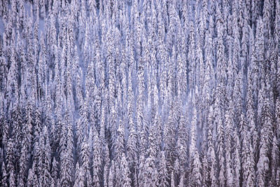 Silver Fir Trees, Olympic National Park, WA