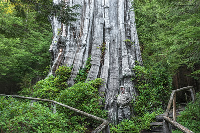 Duncan Memorial Cedar near Forks, Washington