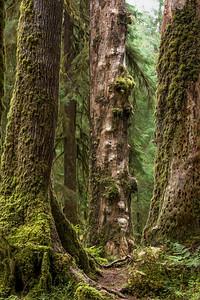 Spruce Snag, Hoh Rain Forest, Olympic National Park