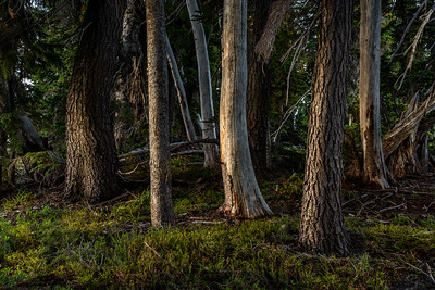 Mountain Forest, Goat Rocks Wildnerness, Cascades Range, WA