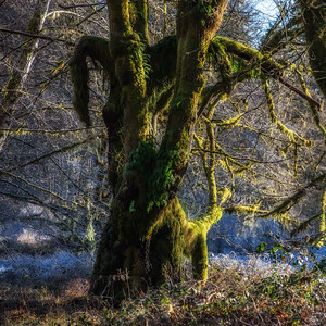 Big Leaf Maple, Hoh valley, Washington