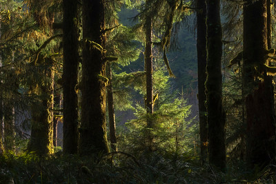 Forest light, Bogachiel Valley, Olympic National Park