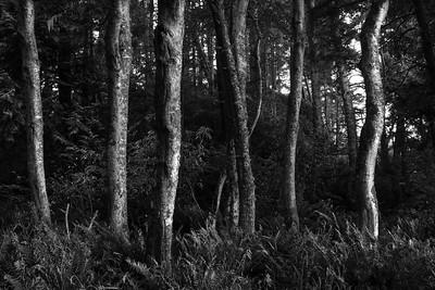 Alder trees in evening light, Joyce Valley, Washington