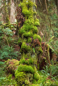 Club moss on Big Leaf Maple Trunk, Salt Creek Park, Washington
