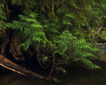 Cedar Boughs along Barnes Creek, Olympic National Park