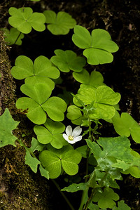 Oxalis,  Hoh Rain Forest, Olympic National Park, WA