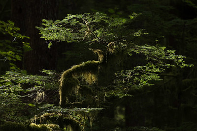 Hemlock Limb in Afternoon Light, Olympic National Forrest near Forks, WA