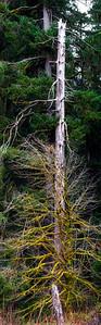 Snag, Hoh Valley, Olympic National Park, Washington