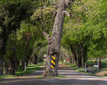 Tree in middle of road, Rock Creek, Texas