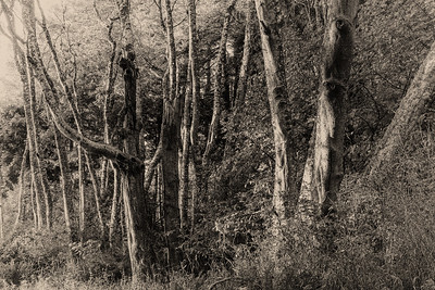 Alder trees, Salt Creek Park near Joyce, Washington