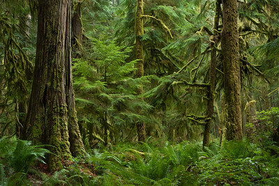 Old growth forest, Olympic National Park near Lake Crescent Lodge