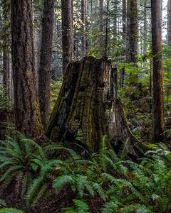 Old Growth Cedar Stump