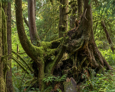 Nurse log trees, Olympic National Forest near Forks, WA