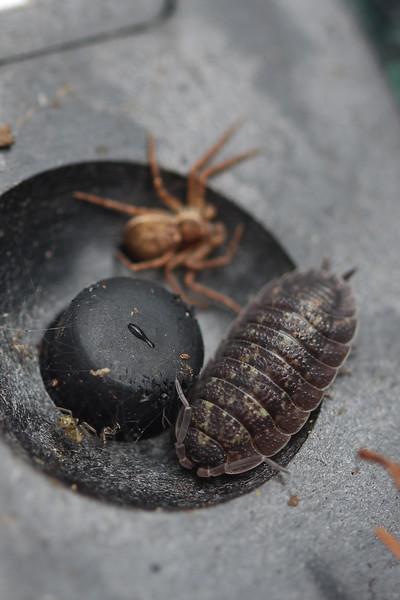 Woodlouse (Isopoda)
