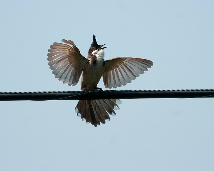 Red-wiskered bulbul
