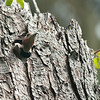 Northern flicker chicks - male & female