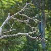 Acorn woodpecker in dead cottonwood