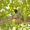 Nuttall's woodpecker - juvenile