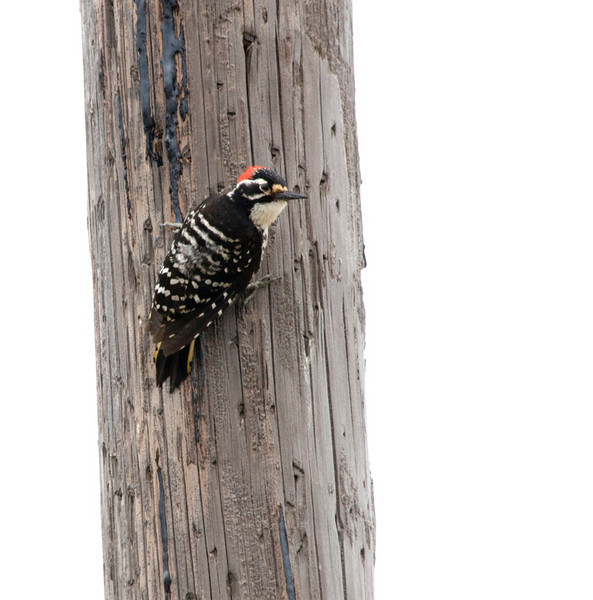 Nuttall's woodpecker