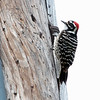 Nattall's woodpecker